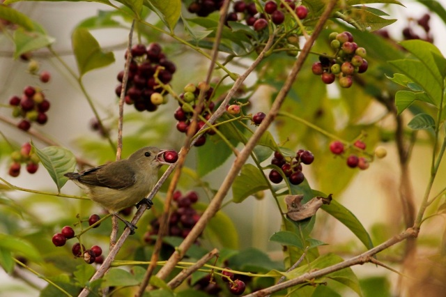 Pale billed Flowerpecker having fruits
