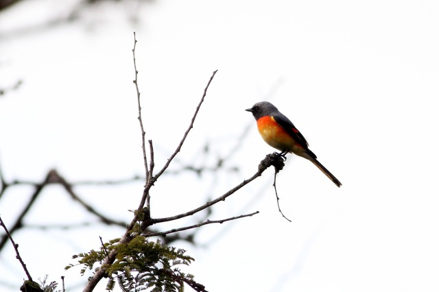 Little Orange Minivet