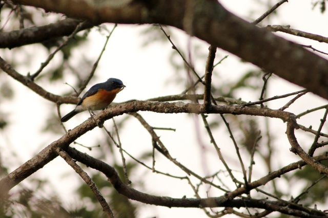 Tickell's Blue Flycatcher with catch.