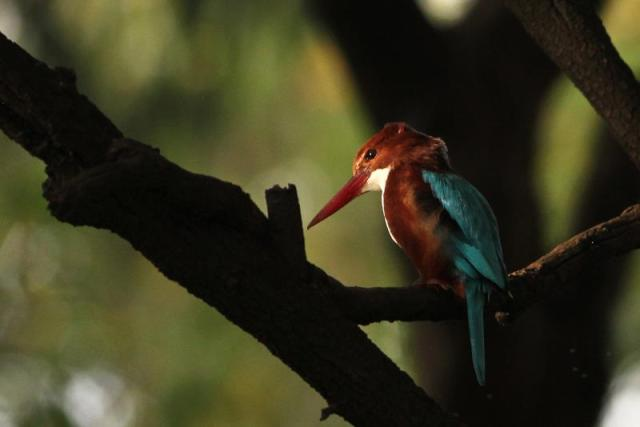 White throated Kingfisher with a glazing light