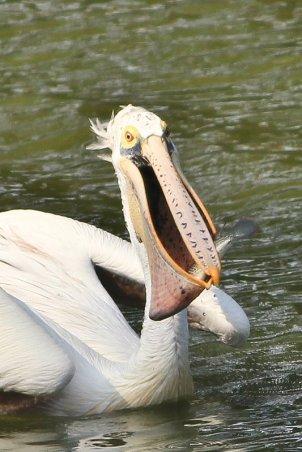 Spot-billed Pelican gulping fish