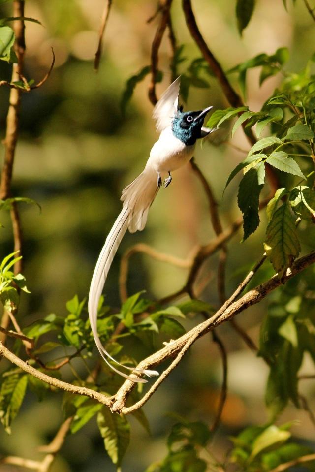 Asian Paradise Male in flight.
