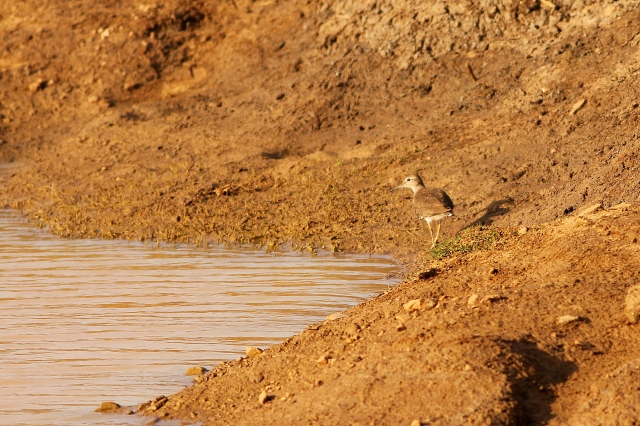 common sandpiper, the only sandpiper i saw in Muthanallur Lake