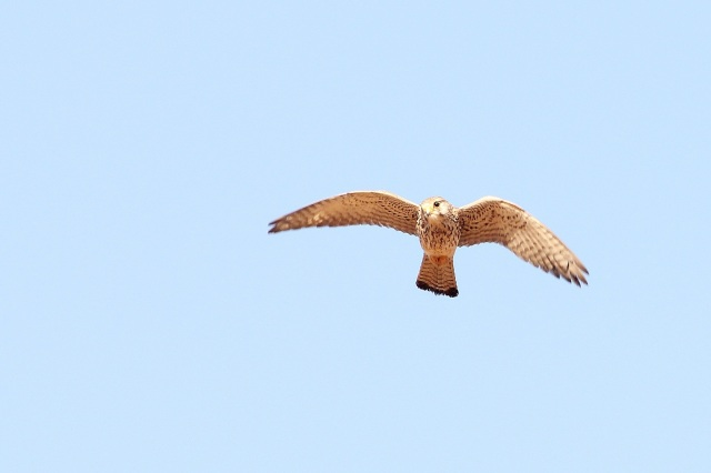 Common Kestrel Female