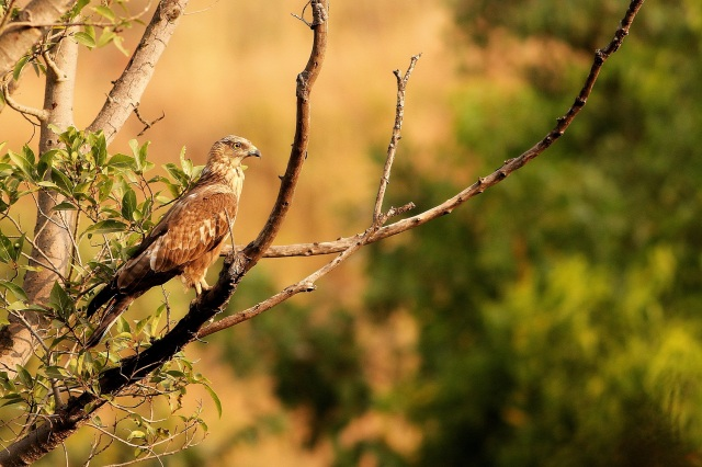 Oriental Honey Buzzard in morning shine