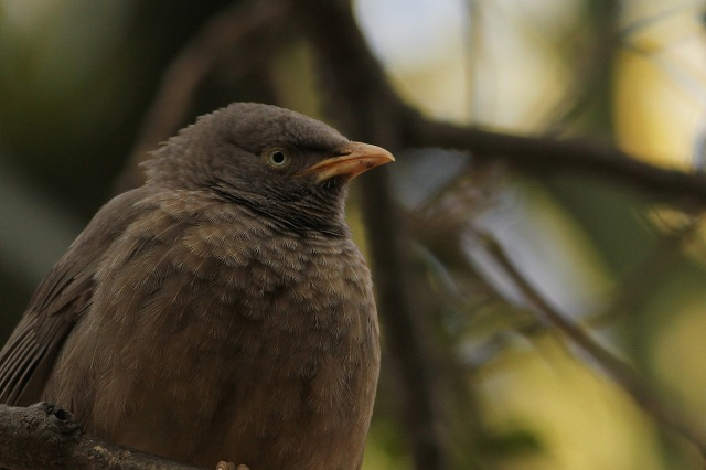 Jungle Babbler (Sanjay Gandhi Biological Park)