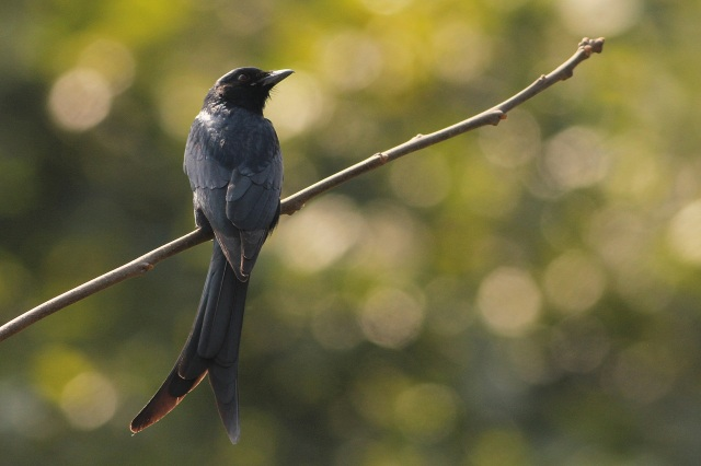 black drongo (Sanjay Gandhi Biological Park)