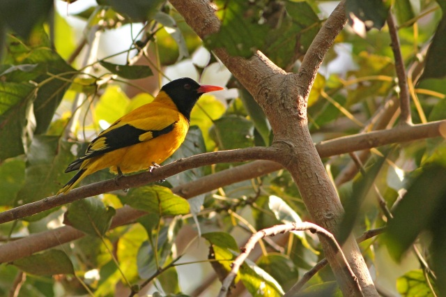 black hooded oriole (Sanjay Gandhi Biological Park)