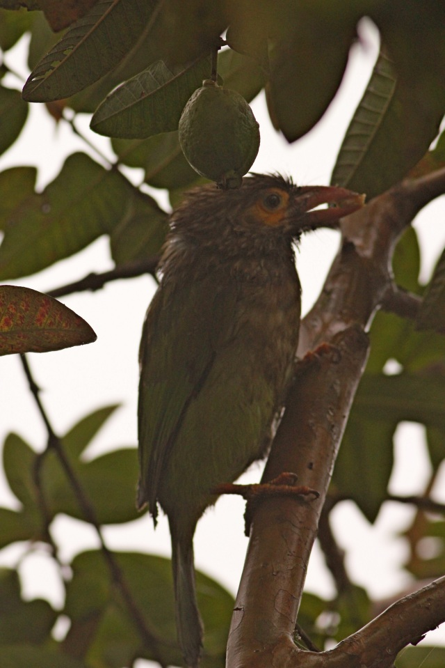 brown-headed barbet (Sanjay Gandhi Biological Park)