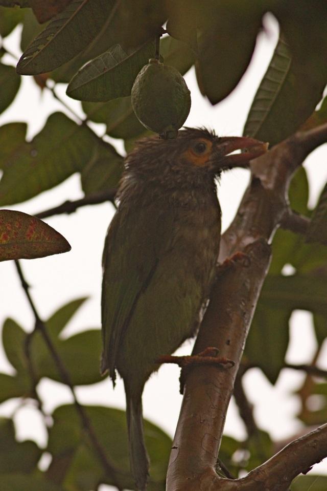 brown-headed barbet (Sanjay Gandhi Biological Park)