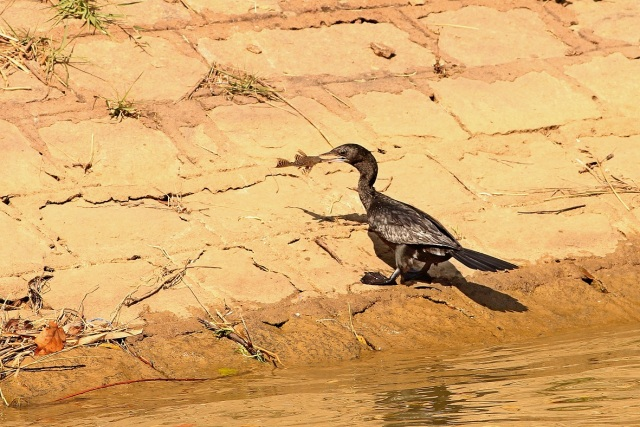 Little Cormorant with catch