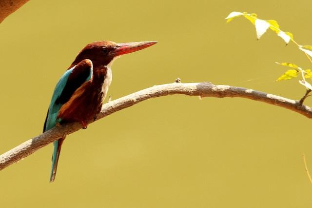 white throated kingfisher (Sanjay Gandhi Biological Park)