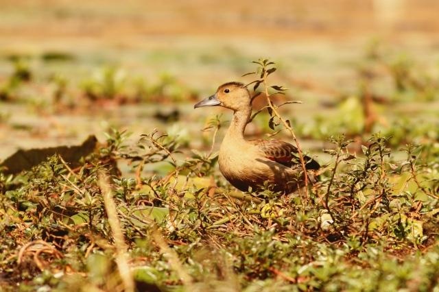 lesser whisling duck