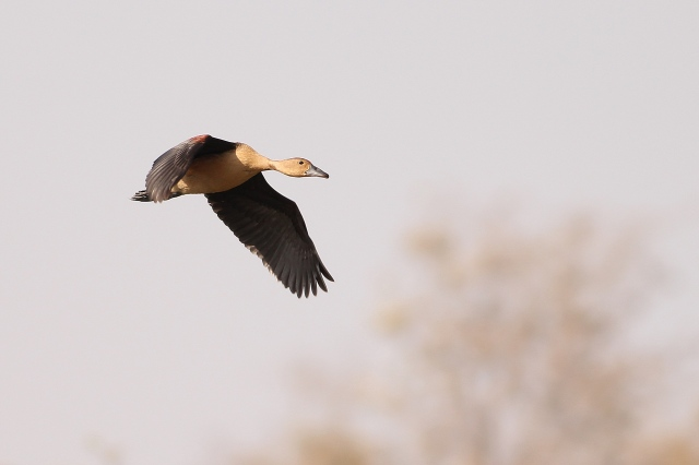 lesser whislings duck