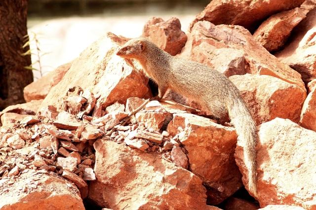 Indian gray mongoose (Sanjay Gandhi Biological Park)