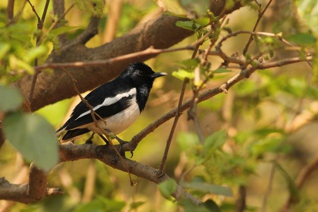 oriental magpie robin (Sanjay Gandhi Biological Park)
