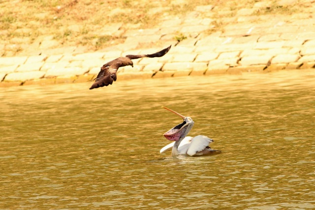Black Kite attack to Spot billed Pelican