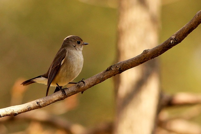 Red Breasted Flycatcher - Female