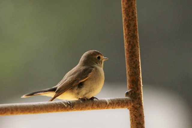 taiga flycatcher (Sanjay Gandhi Biological Park)