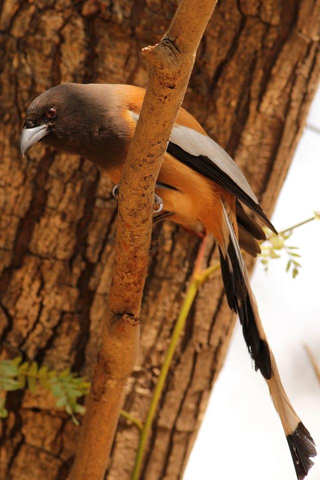 rufous treepie (Sanjay Gandhi Biological Park)