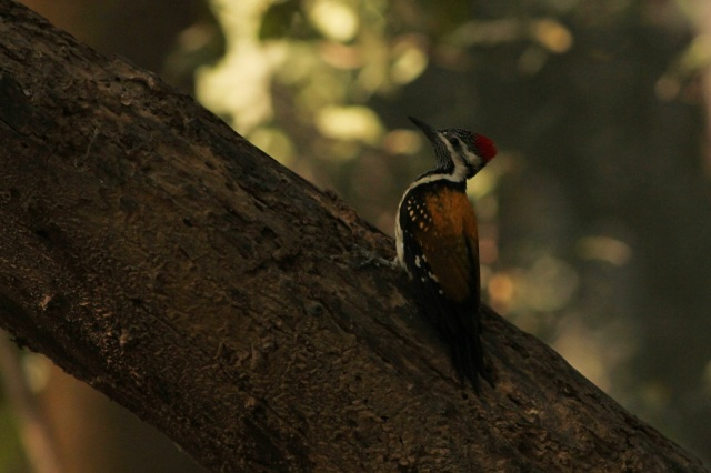 golden flameback woodpecker (Sanjay Gandhi Biological Park)