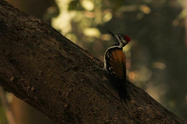 golden flameback woodpecker (Sanjay Gandhi Biological Park)