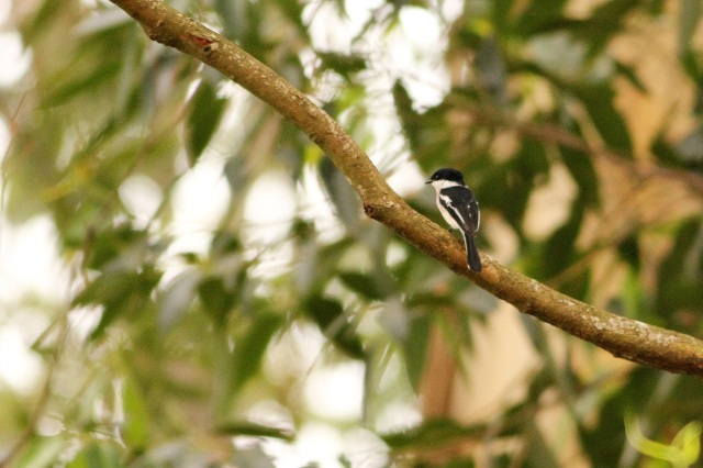 Bar Winged Flycatcher