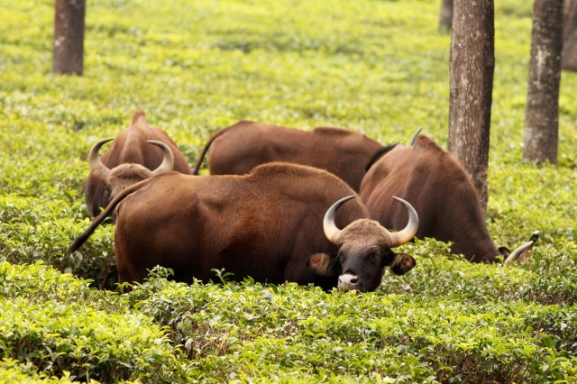 Bison or India Gaur in Tea Plantation