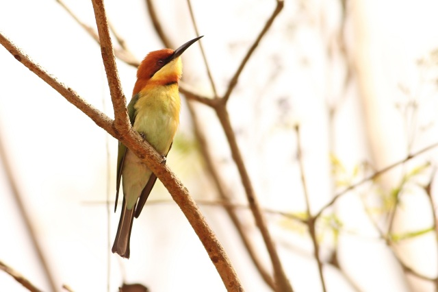 Chestnut Bee Eater