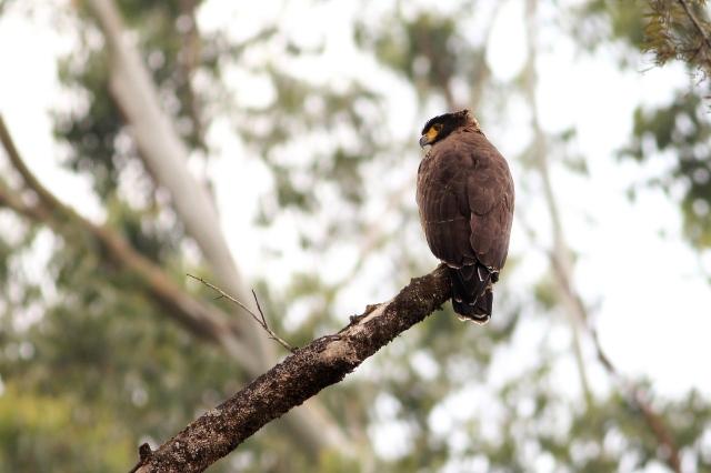 Crested Serpent Eagle - Valparai
