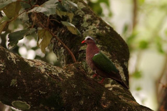 Emerald Dove - Valparai