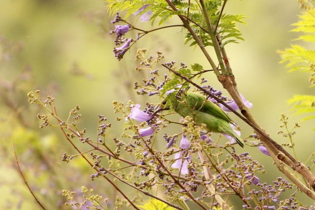 Golden Fronted Leafbird - Female