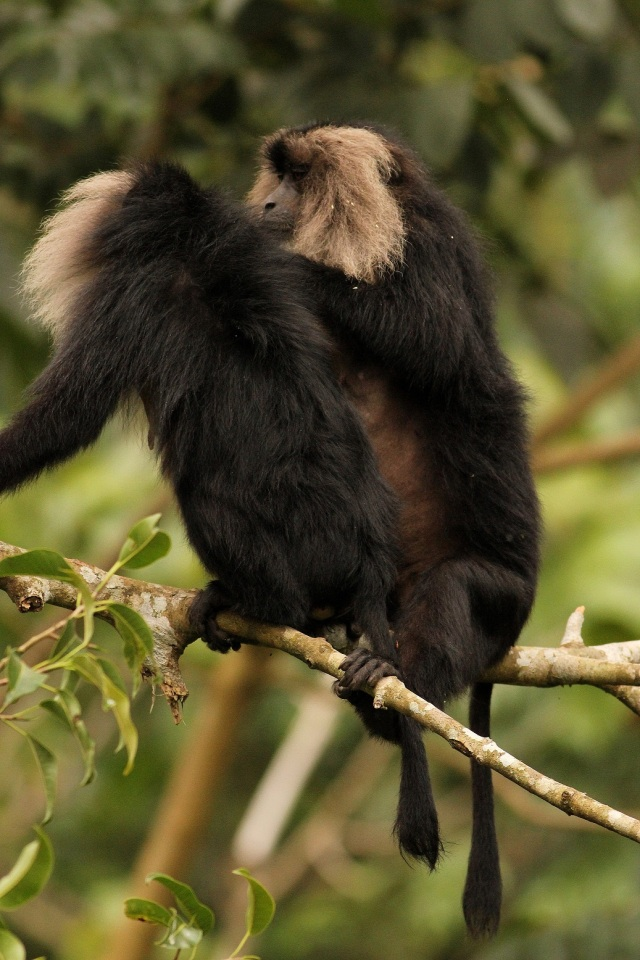 Lion Tailed Macque - Pair.  Picture depicts tail like lion - Valparai