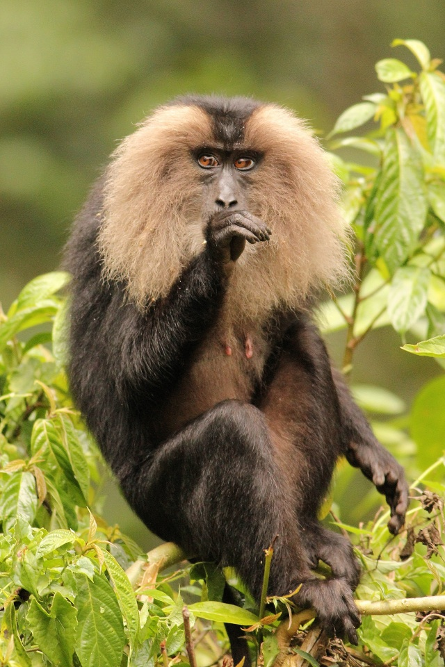Lion Tailed Macque - Valparai