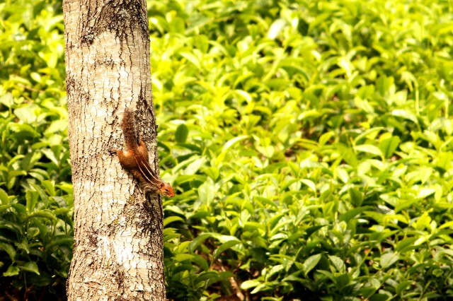 Jungle palm squirrel