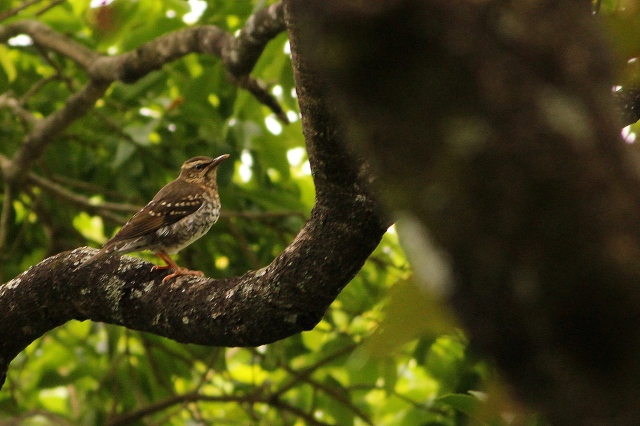 Pied Thrush Female
