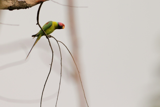 Plum Headed Parakeet Male