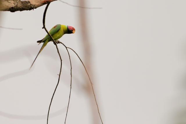 Plum Headed Parakeet Male