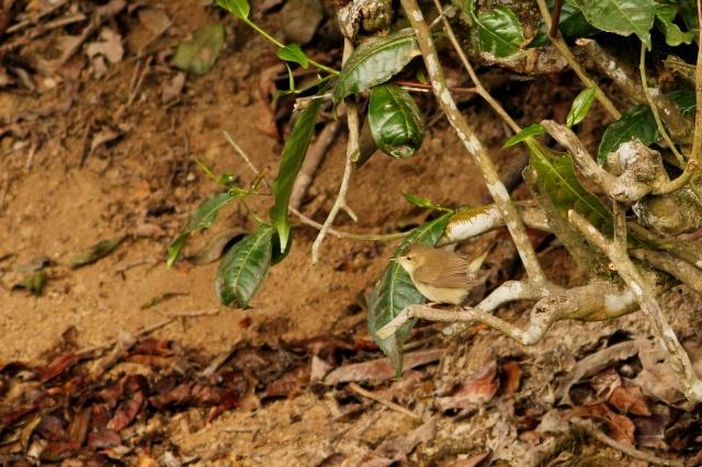 Tickells Leaf Warbler