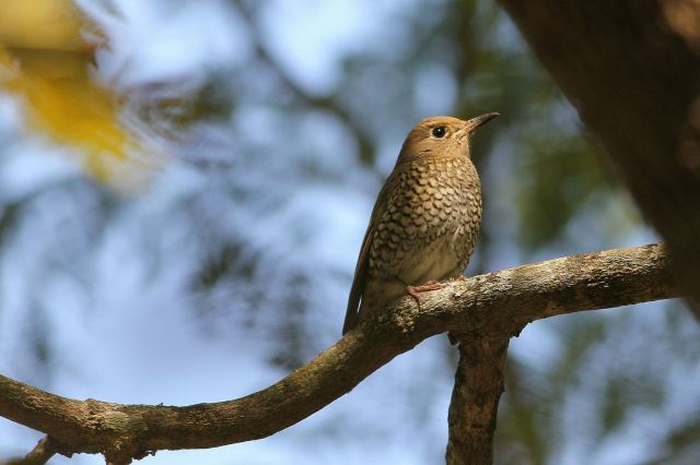 Blue Capped Rock Thrush - Female