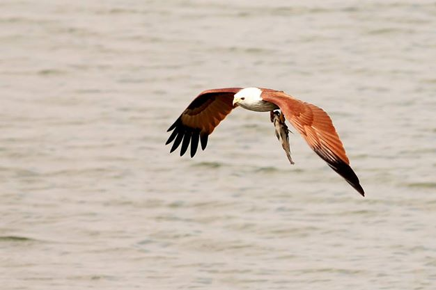 Brahminy Kite - The killer