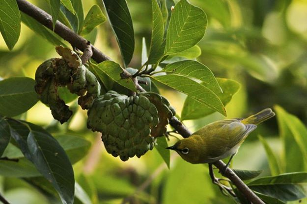 Oriental White eye finding breakfast.