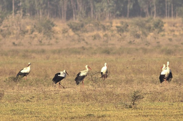 Migrated White Storks