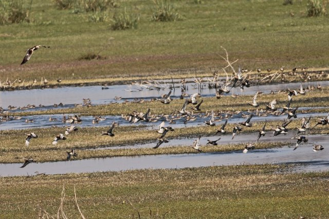 Flock of Garganey at fight under the attack of Marsh Harrier.