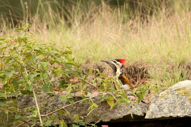 Flameback Woodpecker