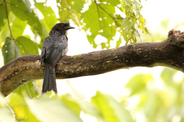 Racket tailed Drongo