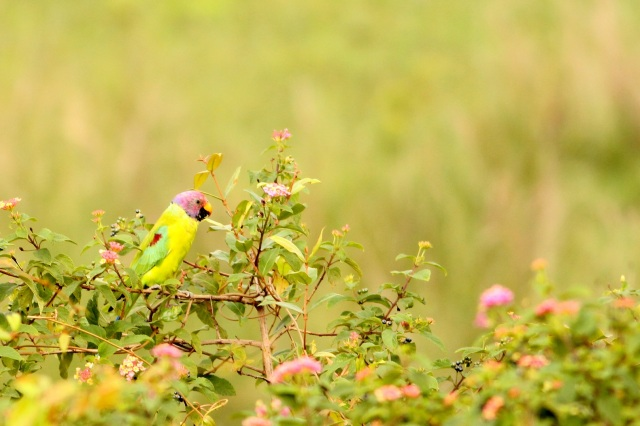Male Plum Headed Parakeet