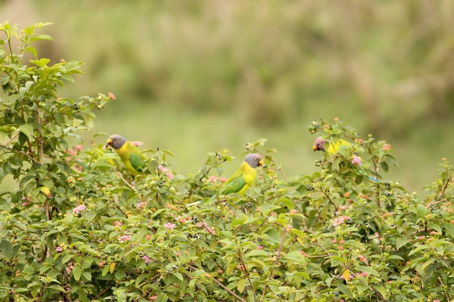 Plum-headed Parakeet - 2 females and 1 male