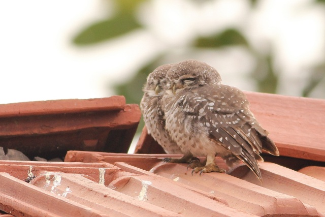 Pair of Spotted Owlet