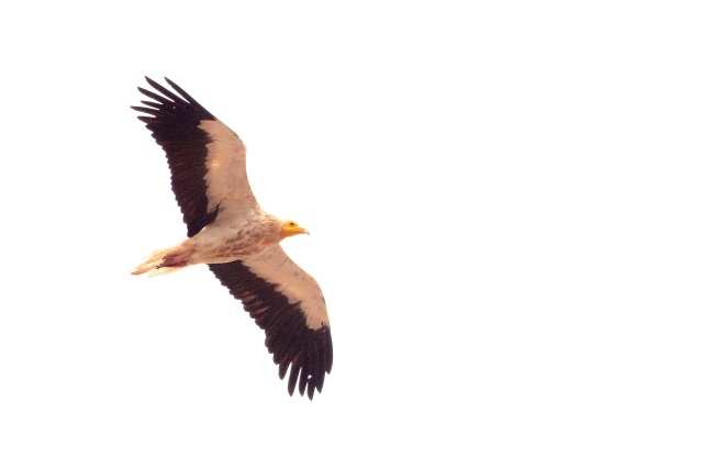 Egyptian Vulture in flight.